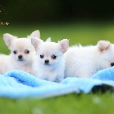 Miot J – chihuahua długowłose – 3 ślicznych chłopców <3