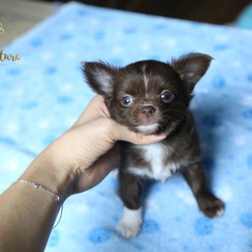Miot O – długowłose czekoladowe chihuahua – piesek oraz suczka :)