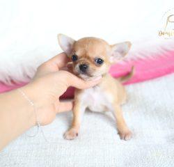 Patty - chihuahua mini suczka krótkowłosa