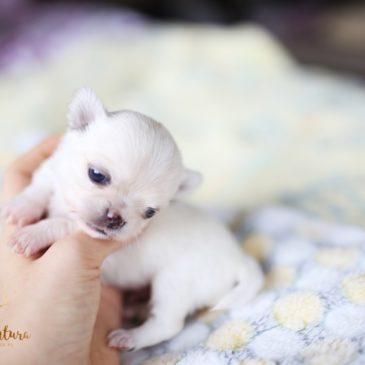 miot S – chihuahua długowłose białe / kremowe <3
